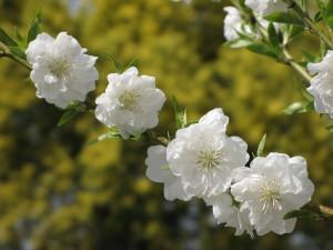 満開のアカシアを背景に満開の寒白桃