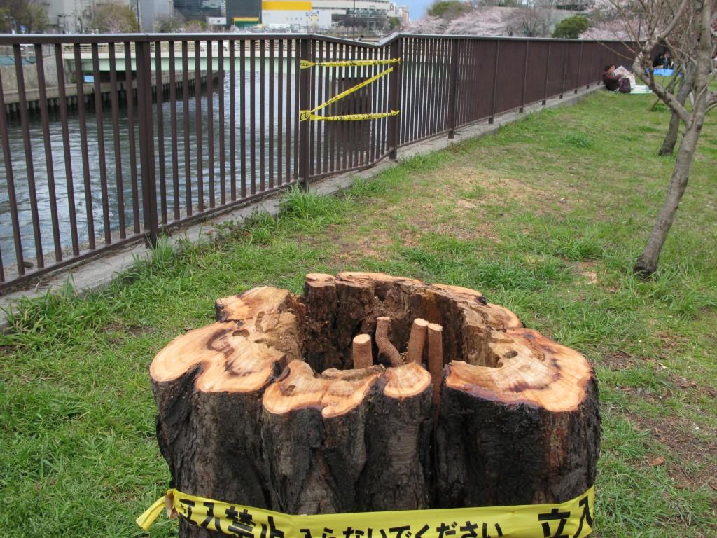 爆弾低気圧で倒木したアカシア